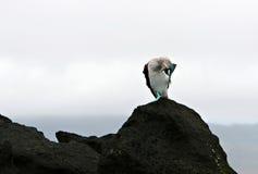 footed blå booby Arkivbilder