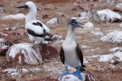 footed blå booby för fågel Royaltyfri Fotografi