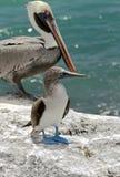 footed booby för 2 blue Arkivbild