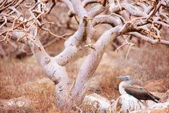 Footed booby för blått under treen Royaltyfria Foton