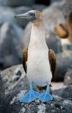 Footed durnie siedzi na skałach wyspy galapagos ptaki Ekwador obrazy royalty free