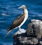 footed galapagos för blå boobie öar fotografering för bildbyråer