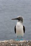 footed hav för blå booby Royaltyfri Fotografi