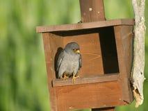 Footed jastrząbek, Falco vespertinus obrazy royalty free