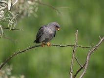 Footed jastrząbek, Falco vespertinus zdjęcia royalty free
