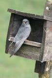 Footed jastrząbek, Falco vespertinus fotografia stock