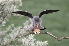 Footed jastrząbek, Falco vespertinus obrazy stock