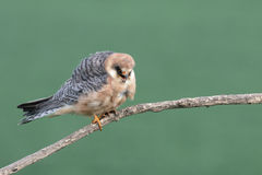 Footed jastrząbek, Falco vespertinus zdjęcie royalty free