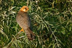 Footed jastrząbek, Falco vespertinus, ptasi obsiadanie na gałąź z jasnym zielonym tłem, cleaning upierzenie, piórko w rachunku, a Obrazy Stock