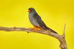 Footed jastrząbek, Falco vespertinus, ptasi obsiadanie na gałąź z jasnym zielonym tłem, cleaning upierzenie, piórko w rachunku, a Obraz Royalty Free