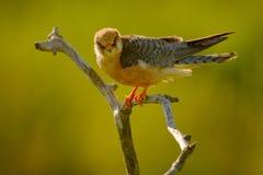 Footed jastrząbek, Falco vespertinus, ptasi obsiadanie na gałąź z jasnym zielonym tłem, cleaning upierzenie, piórko w rachunku, a Zdjęcie Royalty Free