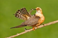 Footed jastrząbek, Falco vespertinus, ptasi obsiadanie na gałąź z jasnym zielonym tłem, cleaning upierzenie, piórko w rachunku, a Zdjęcia Royalty Free