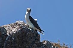footed perched rock för blå booby Royaltyfri Fotografi