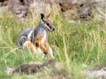 Footed, Petrogale xanthopus xanthopus, Footed Wallaby zdjęcie royalty free