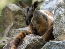 Footed, Petrogale xanthopus xanthopus, Footed Wallaby obraz royalty free