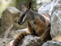 Footed, Petrogale xanthopus xanthopus, Footed Wallaby zdjęcia stock