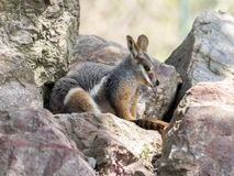 Footed, Petrogale xanthopus xanthopus, Footed Wallaby fotografia royalty free