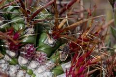 Footed pluskwa na lufowym kaktusie zdjęcia stock