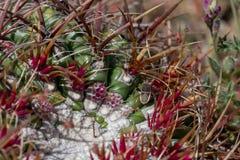 Footed pluskwa na lufowym kaktusie obraz stock