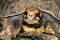 footed röd sköldpadda Arkivbilder