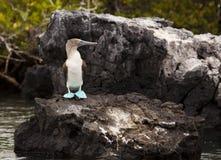 footed rock för blå booby Arkivbild