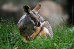 Footed Rockowy Wallaby Australijski kangur - Petrogale xanthopus - obraz royalty free