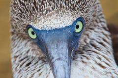 footed stående för blå booby Arkivbilder