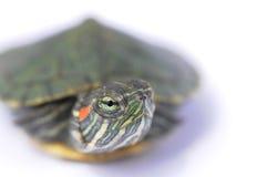 Footed Tortoise przeszpiegi obrazy stock