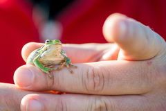 Footed tree frog - Hyla Arborea Stock Photography