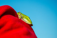 Footed tree frog - Hyla Arborea Royalty Free Stock Photos
