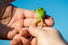 Footed tree frog - Hyla Arborea Stock Image