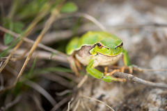 Footed tree frog - Hyla Arborea Royalty Free Stock Image