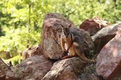 Footed wallaby kangura Petrogale xanthopus chuje w czerwonych skałach obrazy stock