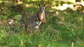 Footed wallaby kangura Petrogale xanthopus pozycja w niskiej trawie obraz royalty free