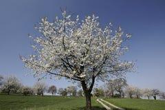 Foothpath med körsbärsröda träd i Hagen, Tyskland Royaltyfria Bilder