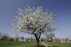 Foothpath met kersenbomen in Hagen, Duitsland Royalty-vrije Stock Afbeeldingen