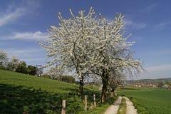Foothpath mit Kirschbäumen in Hagen, Deutschland Lizenzfreies Stockfoto