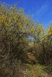 Foothpath. A place to walk in nature close to blossom yellow trees Stock Photography