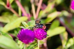 Footman Moth Amata sp Kerala in India. Footman Moth Amata sp from Kerala in India stock image