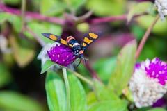 Footman Moth Amata sp Kerala in India. Footman Moth Amata sp from Kerala in India royalty free stock photo