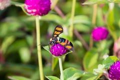 Footman Moth Amata sp Kerala in India. Footman Moth Amata sp from Kerala in India stock photos