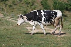 footpath коровы идет стоковое фото