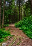 Footpath in ancient coniferous forest. Lovely nature scenery in summertime Stock Photo
