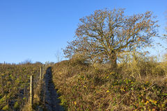 Footpath with ash tree and brambles Stock Photos