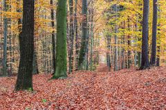 Footpath autumn beech forest Royalty Free Stock Photography