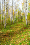 Footpath in autumn birch grove Stock Photography