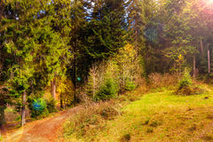 Footpath in autumn coniferous forest Royalty Free Stock Photography
