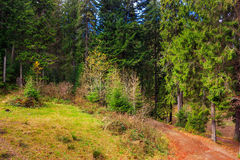 Footpath in autumn coniferous forest Royalty Free Stock Photo