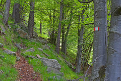 Footpath in beech forest Royalty Free Stock Photos