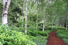 Footpath Through Birch Forest Stock Images